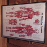 Framed Muscular System Poster 22 x 28 in Shorewood, Illinois