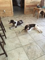 English Springer Spaniel Pups coming soon! in Tomball, Texas
