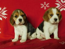 ADORABLE BEAGLE PUPPY FOR ADOPTION in Los Angeles, California