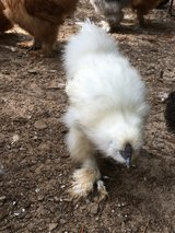 Silkie in Warner Robins, Georgia