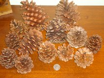 real pinecones in St. Charles, Illinois