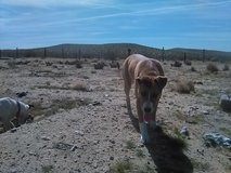 female hound mix in Barstow, California
