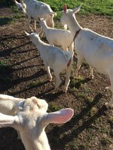 Sanan milk goats and one sanan billy all registered in Leesville, Louisiana