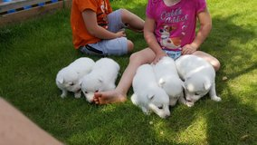 Excellent White Siberian Husky Puppies For Sale in Ellsworth AFB, South Dakota