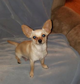 Wanted Chihuahua Puppy in Moody AFB, Georgia