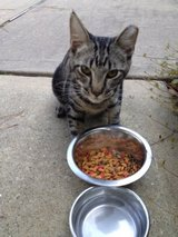 Sweet Tabby Cat Found in Imperial Oaks in The Woodlands, Texas