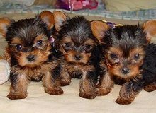 welcoming Yorkshire Terrier puppies in Silverdale, Washington