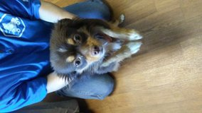 Long hair 9 month old chihuahua in Fort Leonard Wood, Missouri