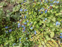 Plumbago Ground Cover in Westmont, Illinois