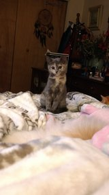 GREY KITTEN LOOKING FOR A FOREVER HOME in Cherry Point, North Carolina