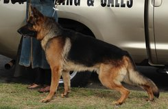 AKC 3 year Male German Shepherd Guard Dog in Camp Pendleton, California