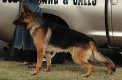 German Shepherd in pic is a +++SCAM*** in Camp Pendleton, California