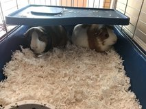 Guinea Pigs with cage in Fort Campbell, Kentucky