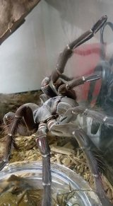 Goliath BirdEater Tarantula in Camp Pendleton, California