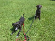 Lab mix pups in Lake Charles, Louisiana