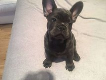 French Bulldog puppies for adoption Text us at (408) 641-7968 in Jacksonville, Alabama
