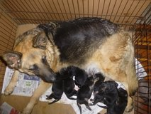 Lovely Baby German Shepard for sale 2 Only in Bowling Green, Kentucky