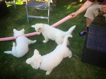 *FRIDAY CUTTY HASHNOUS white German Shepherd puppies for rehome NOW** in Phoenix, Arizona