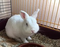 Sir Snowball--1.5 year old male rabbit in Ramstein, Germany