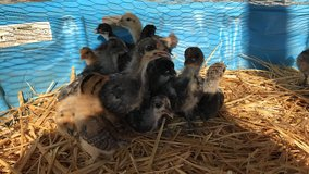 Chickens, chicks and ducks in Lake Elsinore, California