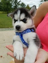 Lovely pure bread Siberian husky puppies available now for cheap re-homing fee in Rota, Spain