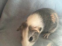 Guinea pig baby girl in Aurora, Illinois