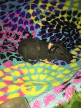 Skinny pig hairless guinea pig male in Aurora, Illinois