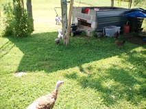 Turkey's all ages in Fort Campbell, Kentucky
