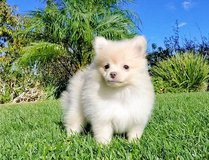 DCVFG Gorgeous purebred Pomeranian Puppies in Fort Lewis, Washington