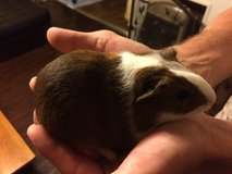 Guinea pigs in Fort Campbell, Kentucky