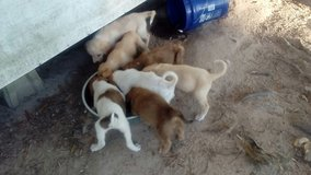 Puppies For Sale! in Leesville, Louisiana