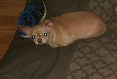Applehead chihuahua in Fort Campbell, Kentucky