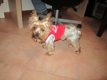 lost yorkie in Clarksville, Tennessee