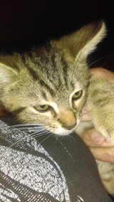 Free Tiger Striped Kittens in Fort Campbell, Kentucky