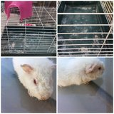 Guinea pig baby and cage in Sugar Grove, Illinois