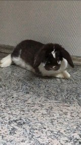 Lop Bunny in Ramstein, Germany