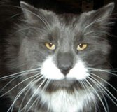 Lost long haired gray kitty in Plainfield, Illinois