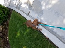 Pitbull mix male brown 8mos in Oceanside, California
