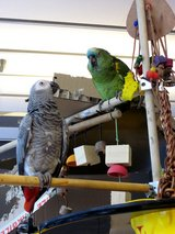 lovely talking african grey parrote in New Lenox, Illinois