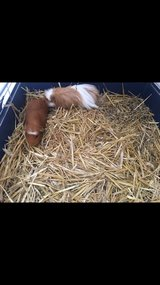 FREE!! 2 male guinea pigs in Ramstein, Germany