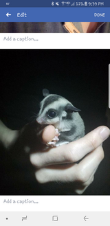 Sugargliders in Cherry Point, North Carolina