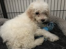Mini Goldendoodle in Miramar, California