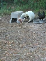2 Blue laced red Wyandotte hens about to start laying in DeRidder, Louisiana