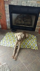 ReHoming Weimaraner in Lawton, Oklahoma