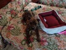 ASAP! Need forever home for Brindle Boxer Mix (JUNCTION CITY) in Fort Riley, Kansas