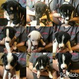 puppies in Fort Drum, New York