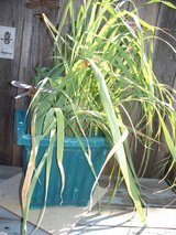 Iris, &  lemon grass plant in Fairfield, California