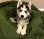 Female and male Siberian Husky Puppy in Saint Petersburg, Florida