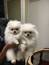 Lovely Pomeranian Puppies for Sale in Saint Petersburg, Florida