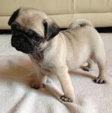 Fawn Pug puppies for adoption in Saint Petersburg, Florida